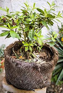 花盆里的茶花