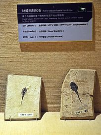林蛙蝌蚪化石