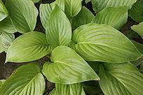 绿色大叶花草