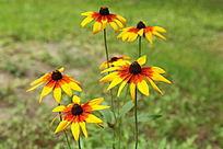 美丽的黄色花朵黑心菊花