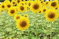 盛开的太阳花向日葵花海