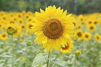 盛开的太阳花向日葵花盘