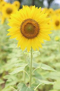 盛开的向日葵花太阳花多花