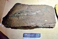 似云南鲃化石