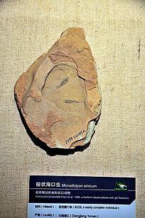 梭状海口虫化石