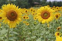 太阳花向日葵花花朵