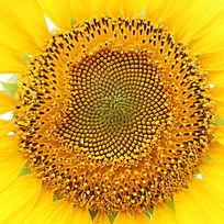 太阳花向日葵花心花盘