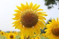 天空背景的太阳花葵花花朵