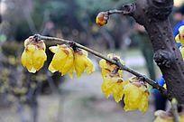 一枝黄色腊梅花