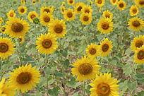 绽开怒放的太阳花向日葵花海