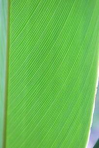 整齐条纹的绿叶背景
