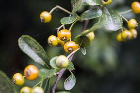 枝头的黄色小果子