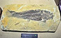 中华弓鳍鱼化石