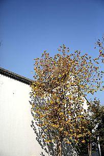 白墙边的黄叶