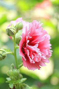 灿烂的蜀葵
