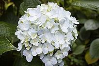 淡蓝色的绣球花