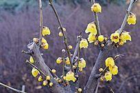 冬季的腊梅花植物