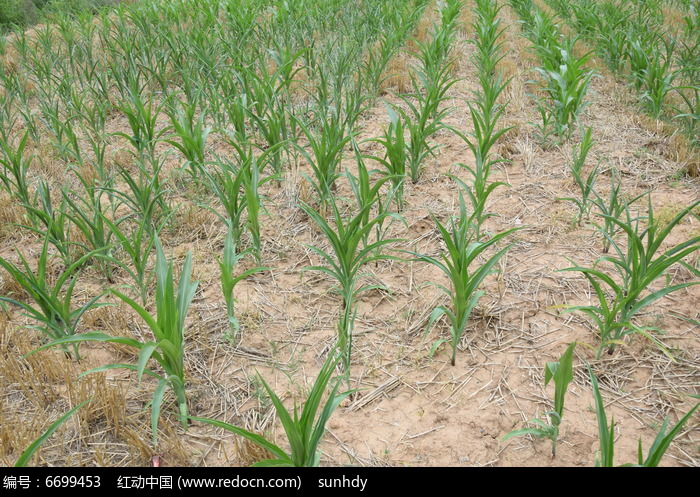 原创摄影图 动物植物 农作物 干旱的玉米田