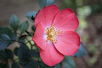 红色的月季小花朵