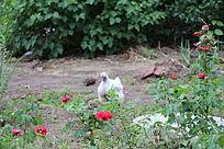 花丛中的小乌鸡