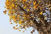 黄色的树叶