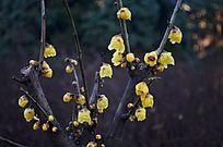 腊梅花花苞