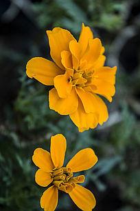 两朵橙色的花朵