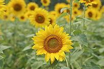 美丽的太阳花向日葵花花盘