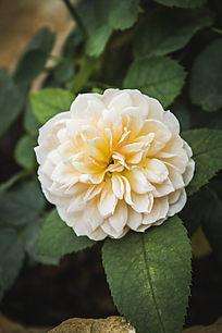 一朵淡黄色的玫瑰花