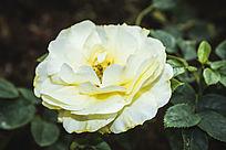 一朵淡黄色的月季