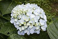 一朵淡蓝色的绣球花