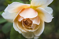一朵低头的淡黄色月季