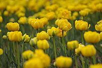 一片黄色郁金香花海
