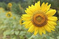 绽开怒放的太阳花向日葵花花盘