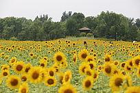 奥森公园的向日葵花太阳花