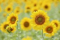 大光圈拍摄太阳花向日葵花