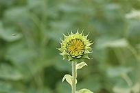 待放的太阳花