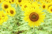 金黄的太阳花向日葵花背景