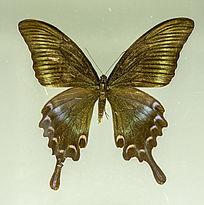 金色条凤蝶