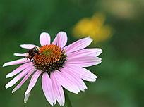绿色背景下的小蜜蜂和天人菊花朵