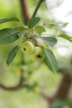 绿色的小青果