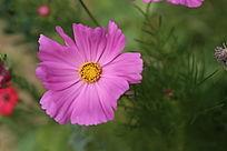 美丽的格桑花花朵