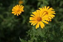 美丽的金盏花花心花朵