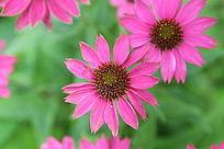 美丽的紫色桑格花丛