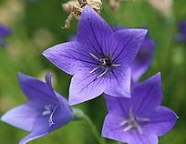 蜜蜂在紫色桔梗花朵里