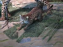 三峡博物馆豹猫标本
