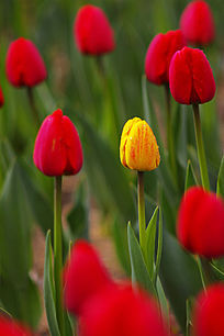 盛开的郁金香花苞