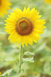 太阳花的花朵