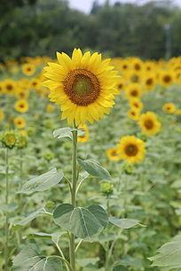 太阳花向日葵花的花朵