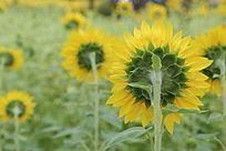 太阳花向日葵花花朵的背面